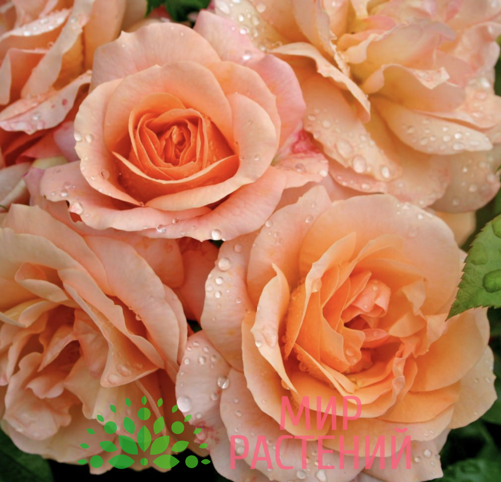 Роза флорибунда Aprikola. Априкола. Кордес.-1