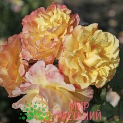 Роза плетистая Moonlight. Мунлайт. Кордес.1
