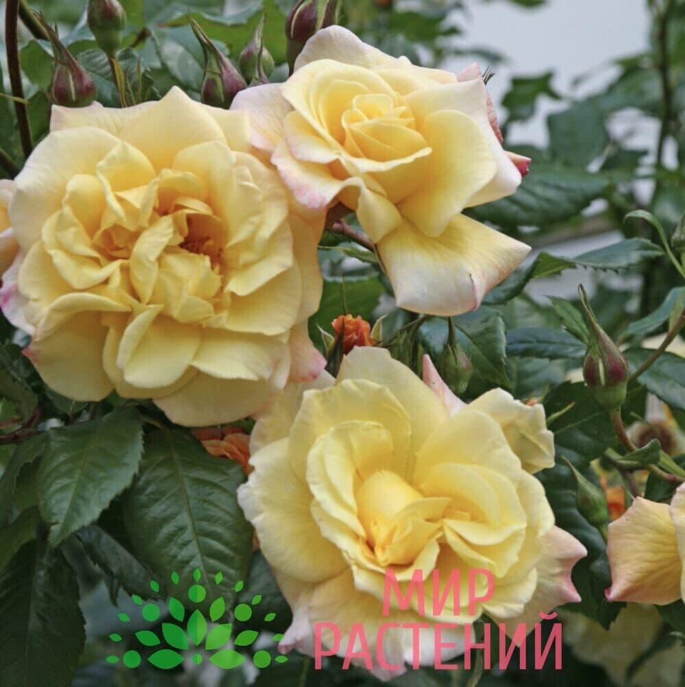 Роза плетистая Moonlight. Мунлайт. Кордес.2