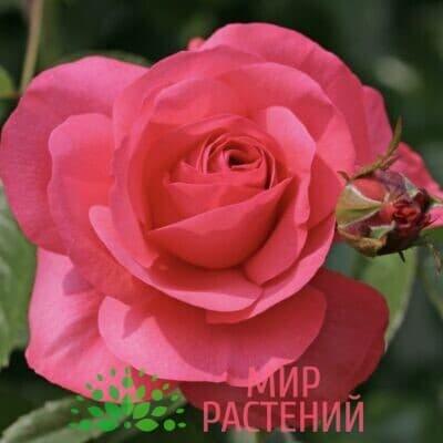Роза плетистая Rosanna. Розана. Кордес.