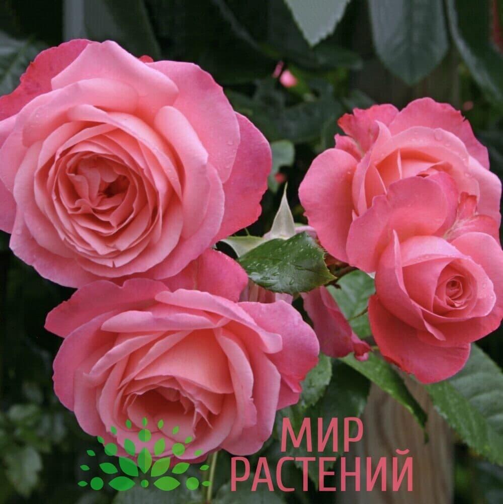 Роза плетистая Rosanna. Розана. Кордес.2