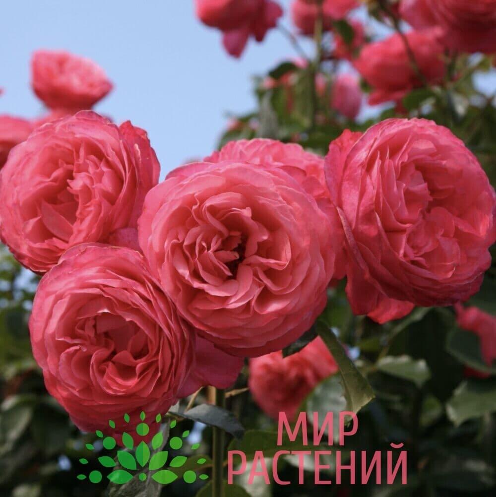 Роза плетистая Rosanna. Розана. Кордес.3