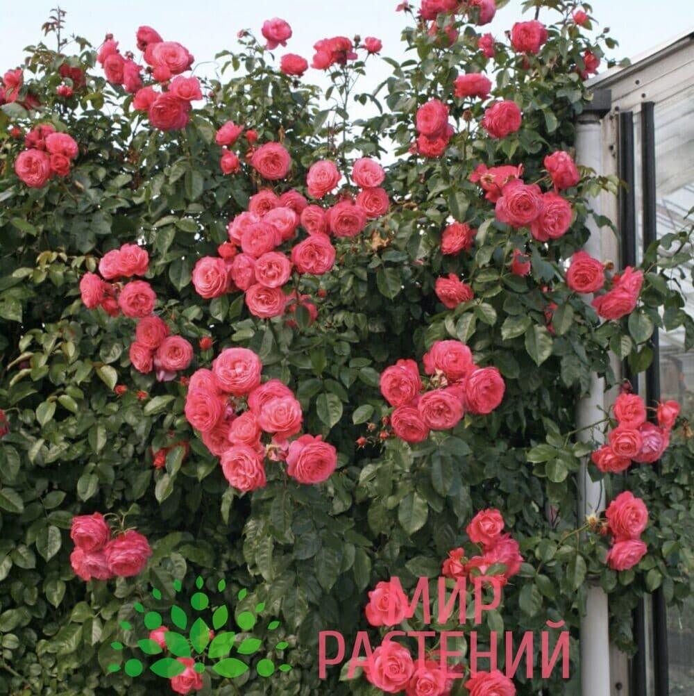 Роза плетистая Rosanna. Розана. Кордес.4