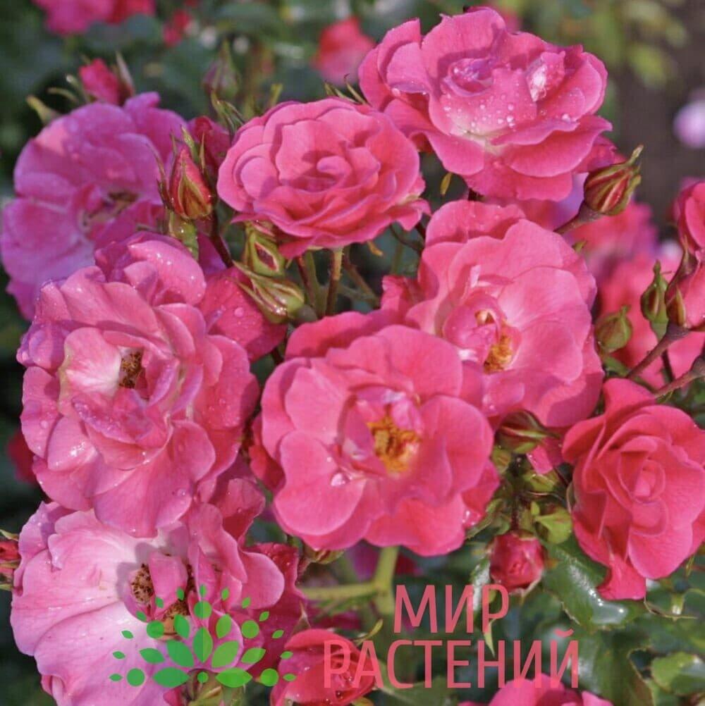 Роза почвопокровная Blühwunder 08. Блювунде 08. Кордес.2