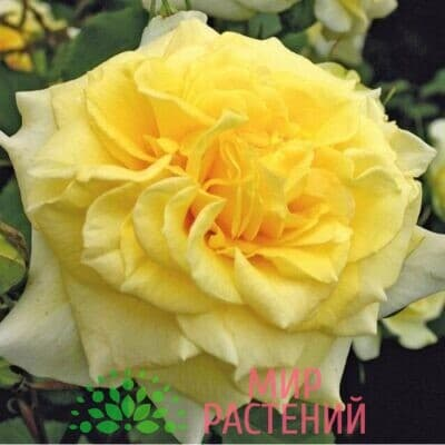 Роза кустовая Sterntaler. Штернталер. Кордес.1