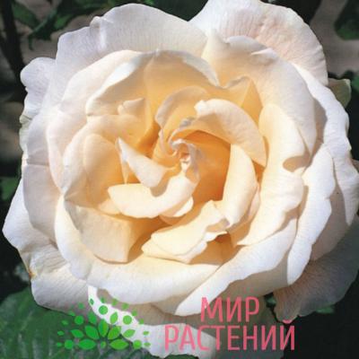 Роза чайно-гибридная Marie-Luise Marjan. Мари-Луиз Марьян. Кордес.