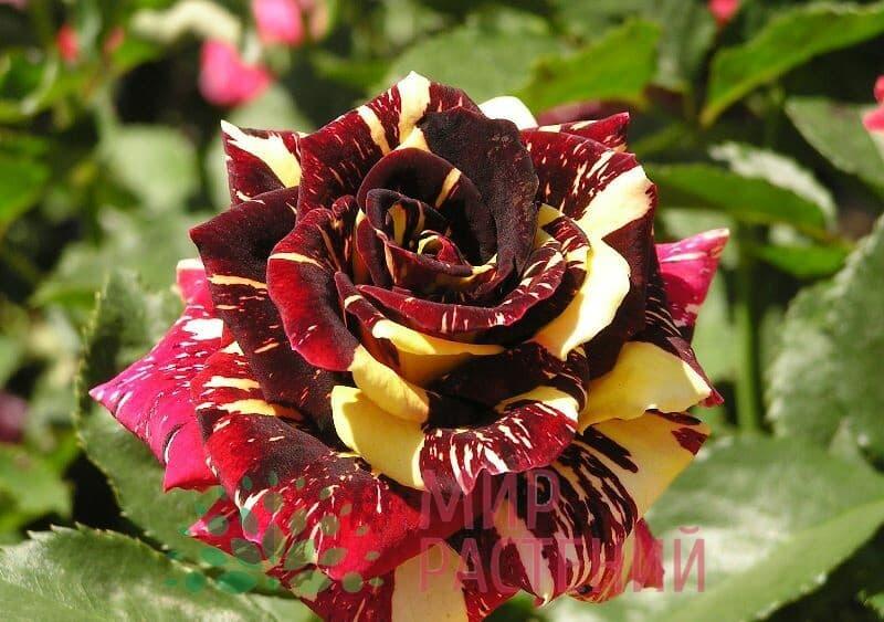 Роза флорибунда Abrakadabra Абракадабра Кордес 2