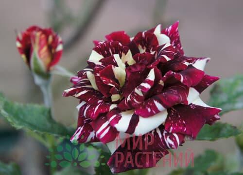 Роза флорибунда Abrakadabra Абракадабра Кордес 3