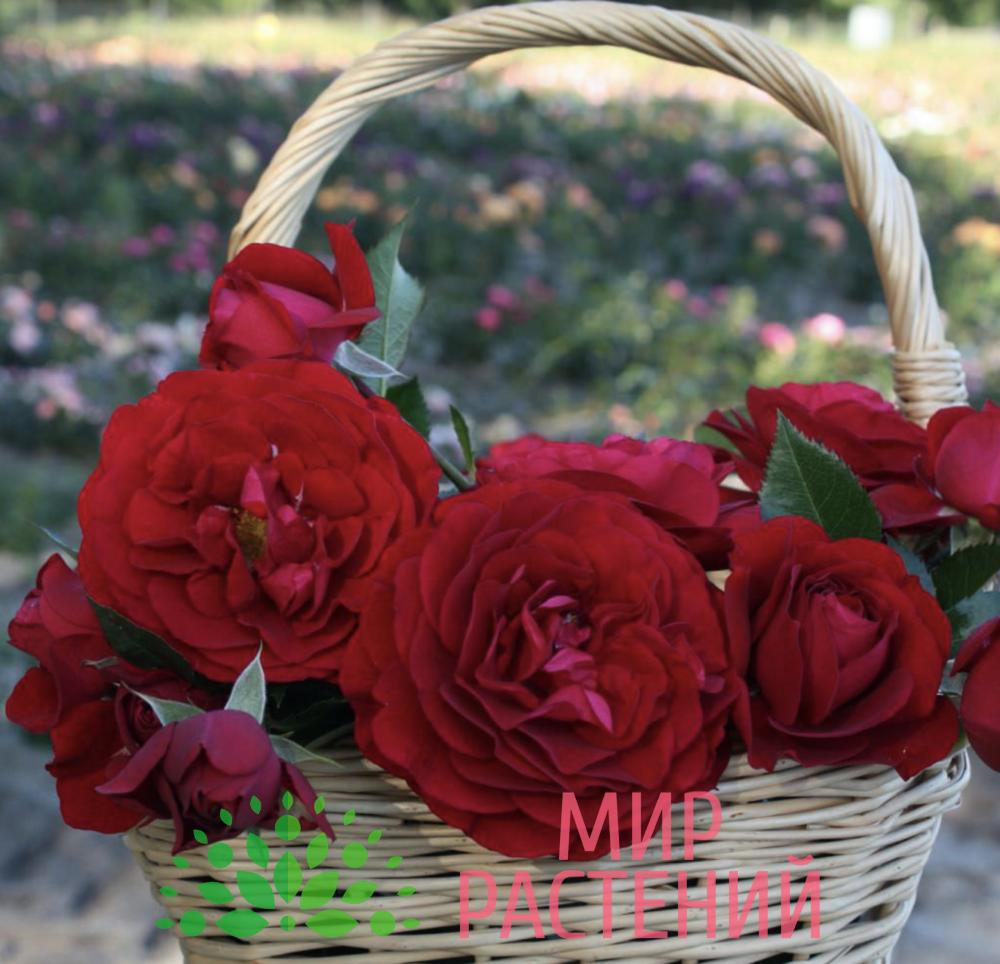 Роза флорибунда Bordeaux. Бордо. Кордес.-4
