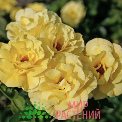 Роза флорибунда Friesia. Фрезия. Кордес.-1