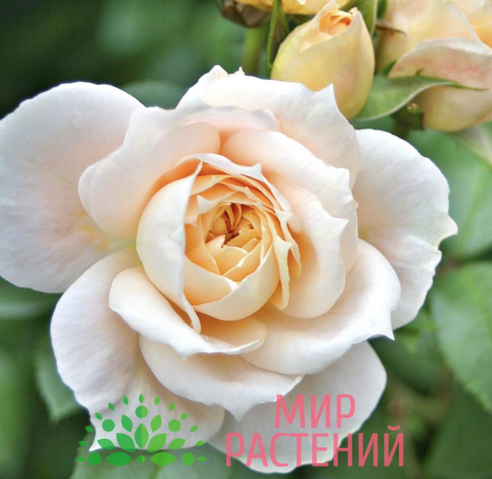Роза флорибунда Lions Rose. Лайонс Роз. Кордес.-1