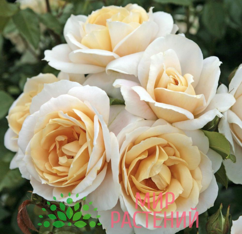 Роза флорибунда Lions Rose. Лайонс Роз. Кордес.-2
