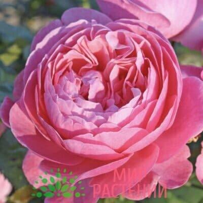 Роза кустовая Flora Colonia – Syn. Kölner Flora. Флора Колониа син. Кёлнер Флора. Кордес.
