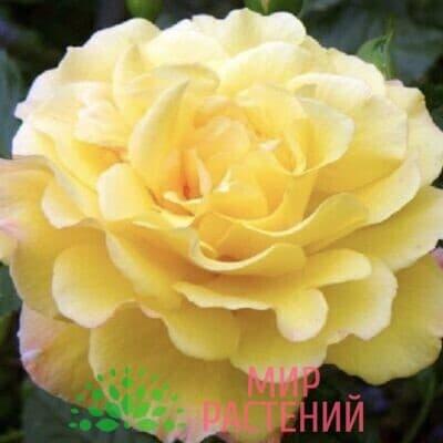 Роза кустовая Rugelda. Ругелда. Кордес.