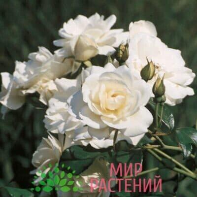 Роза кустовая Schneewittchen. Шнеевитхен. Кордес.1