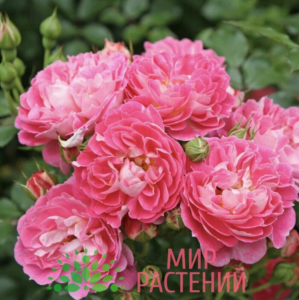 Роза миниатюрная Charmant. Шармант. Кордес.
