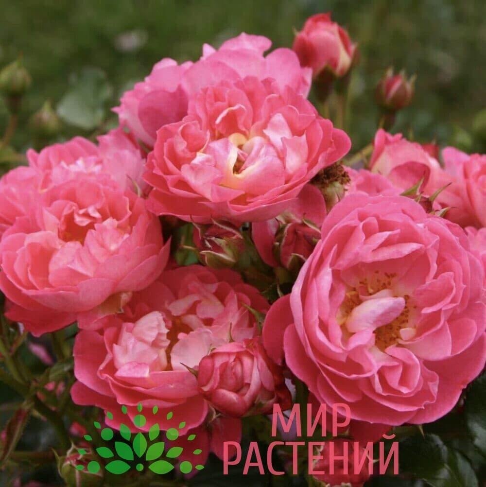 Роза миниатюрная Charmant. Шармант. Кордес.2