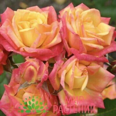 Роза миниатюрная Little Sunset. Литл Сансет. Кордес.1
