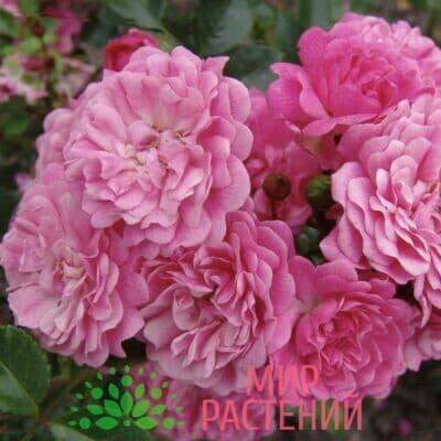 Роза миниатюрная Pepita. Пепита. Кордес.1