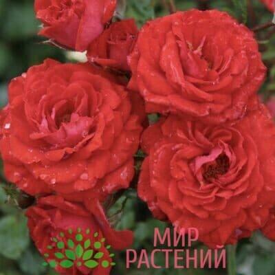 Роза миниатюрная Zwergenfee. Цвегенфи. Кордес.1