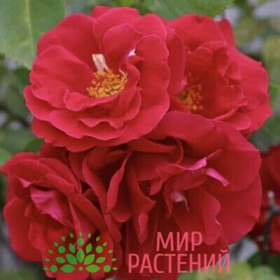 Роза плетистая Flammentanz. Фламентанц. Кордес.