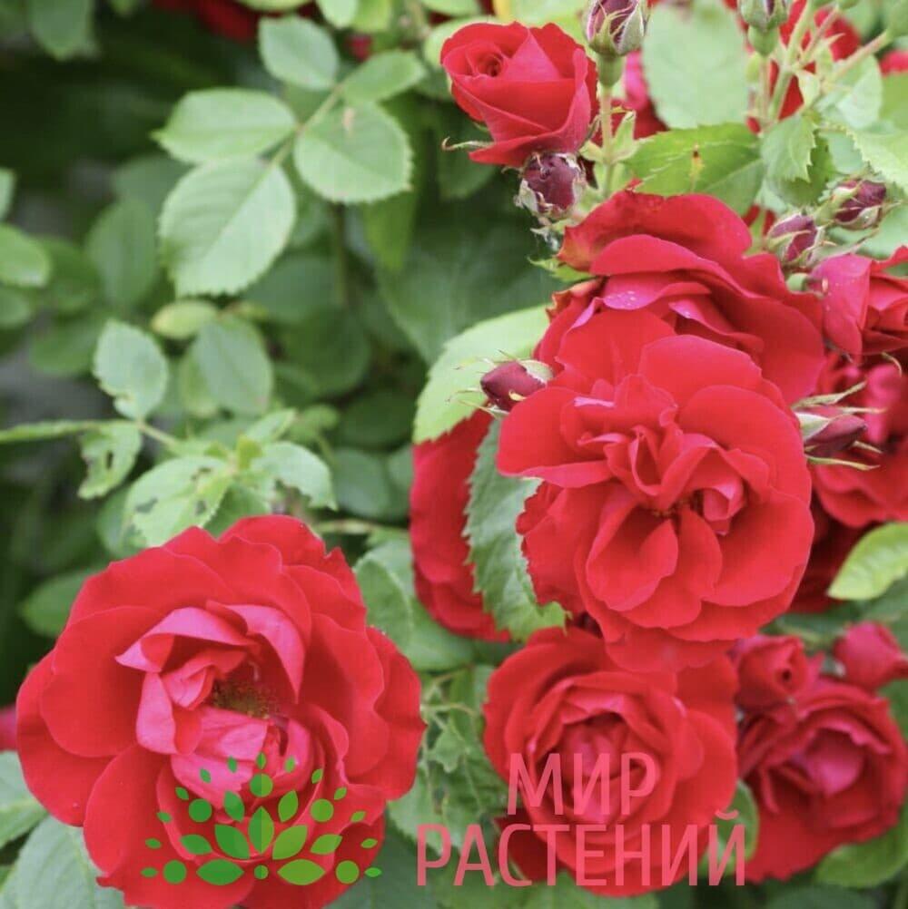 Роза плетистая Flammentanz. Фламентанц. Кордес.2