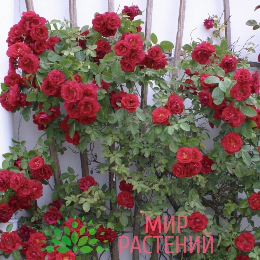 Роза плетистая Flammentanz. Фламентанц. Кордес.4
