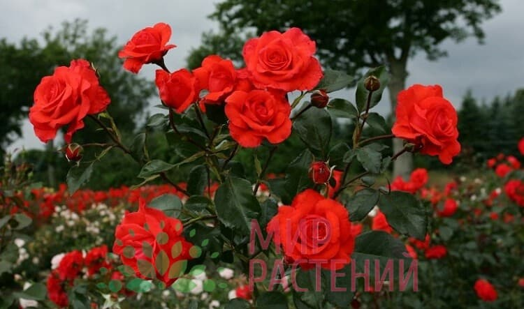 Роза плетистая Salita. Салита. Кордес.