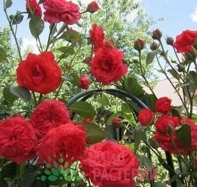 Роза плетистая Salita Салита Кордес 3