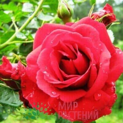 Роза плетистая Sympathie. Симпати. Тантау.
