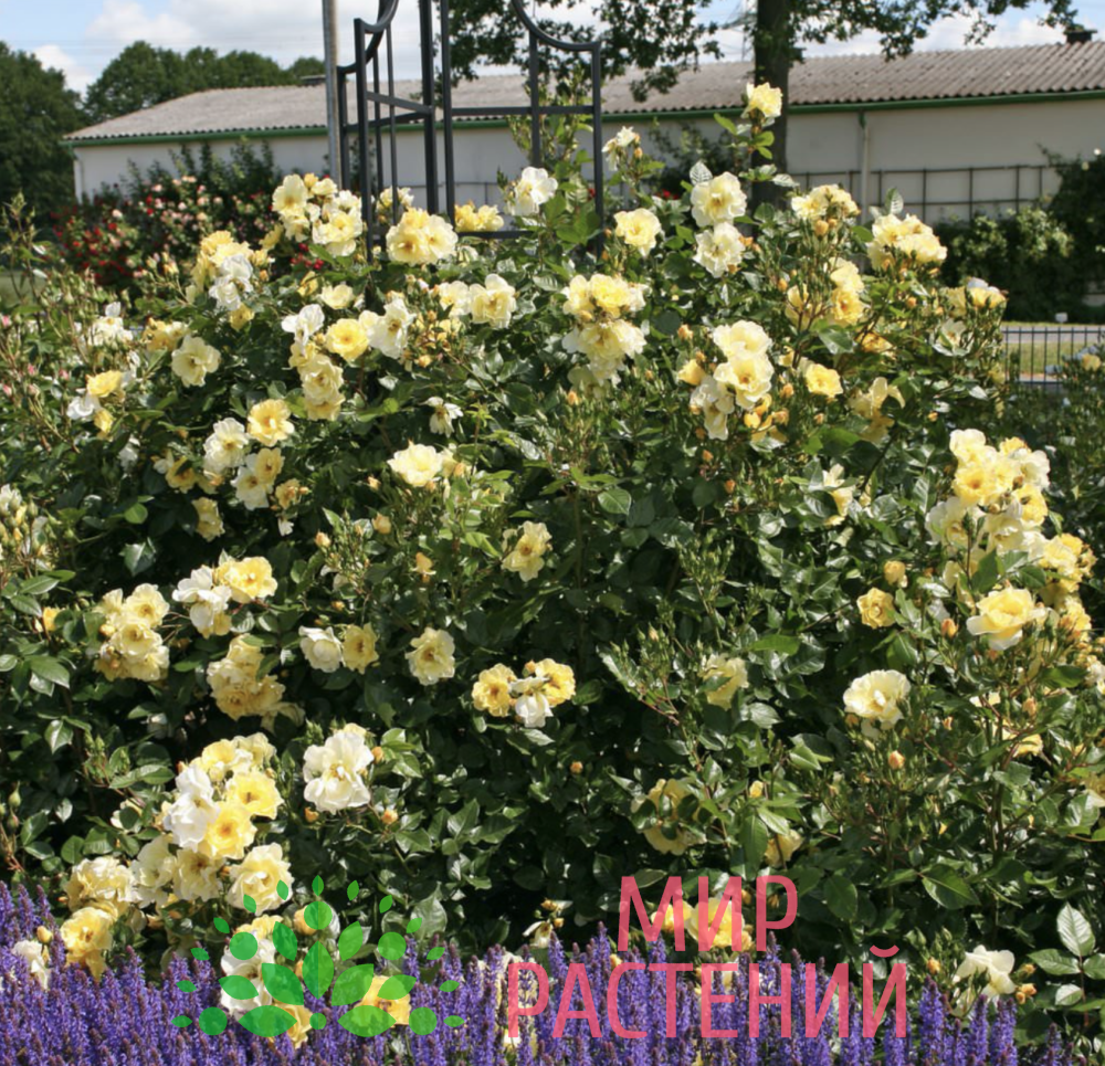 Штамбовая роза Goldspatz. Голдшпац :140. Кордес.-3