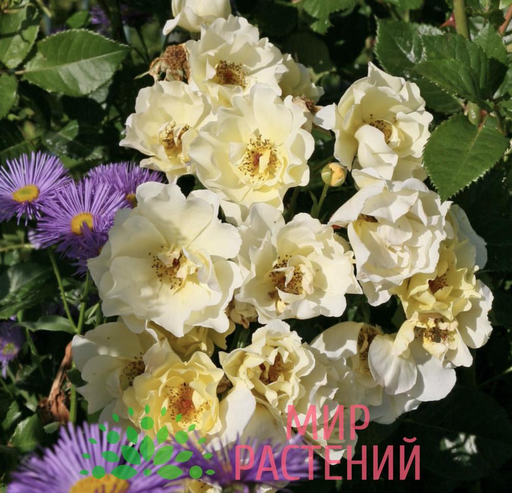 Штамбовая роза Goldspatz. Голдшпац :140. Кордес.-4