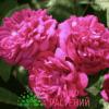 Kordes Rose de Rescht