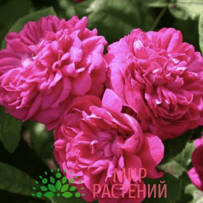 Роза парковая Rose de Rescht. Роз де Решт. Кордес.