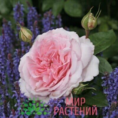 Роза кустовая Alexandra – Princesse de Luxembourg. Александра – Принцес де Люксембур. Кордес.-1