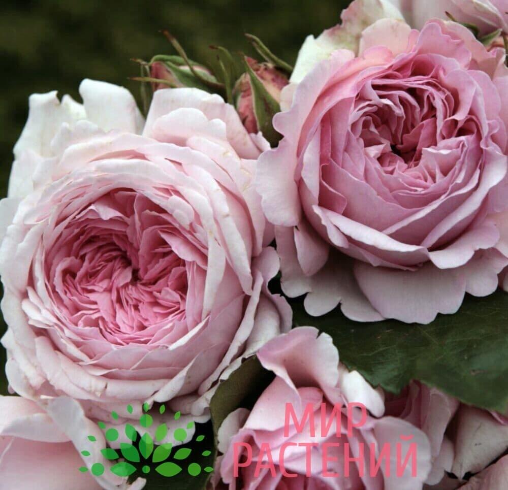Роза кустовая Alexandra – Princesse de Luxembourg. Александра – Принцес де Люксембур. Кордес.-2