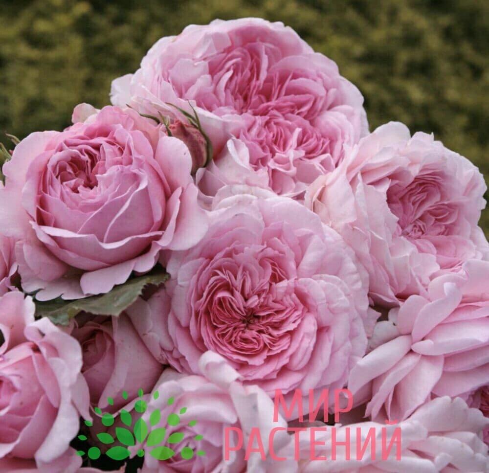 Роза кустовая Alexandra – Princesse de Luxembourg. Александра – Принцес де Люксембур. Кордес.-4