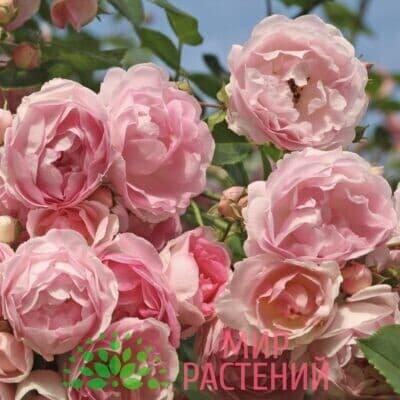 Роза плетистая Jasmina. Жасмина. Кордес.