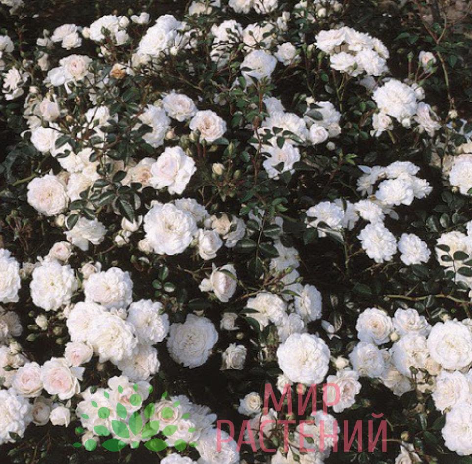 Роза почвопокровная Sea Foam. Си Фём. Кордес.2
