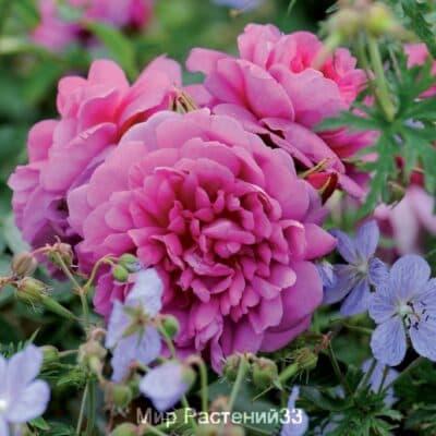 Роза кустовая Princess Anne. Принцесс Энн. Дэвид Остин.