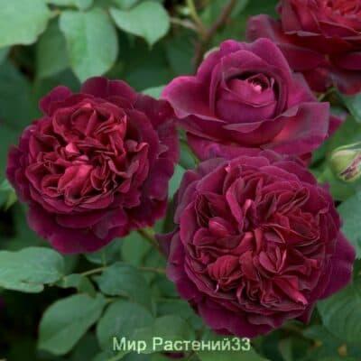 Роза кустовая Munstead Wood. Мунстэд Вуд. Дэвид Остин.