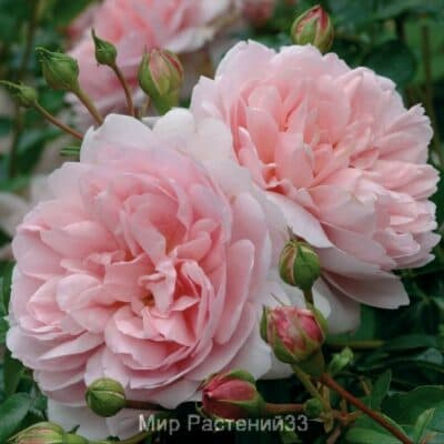 Роза кустовая Wildeve. Вилдив. Дэвид Остин.