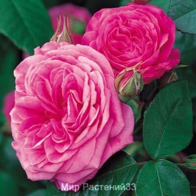 Розы Дэвида Остина (David Austin Roses) - Плетистая роза Гертруда Джекилл (GERTRUDE JEKYLL)