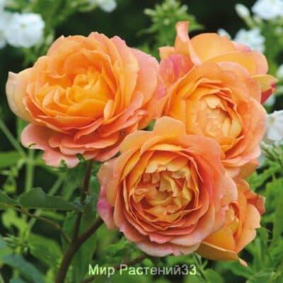 Роза кустовая Lady of Shalott. Леди ов Шалот. Дэвид Остин.