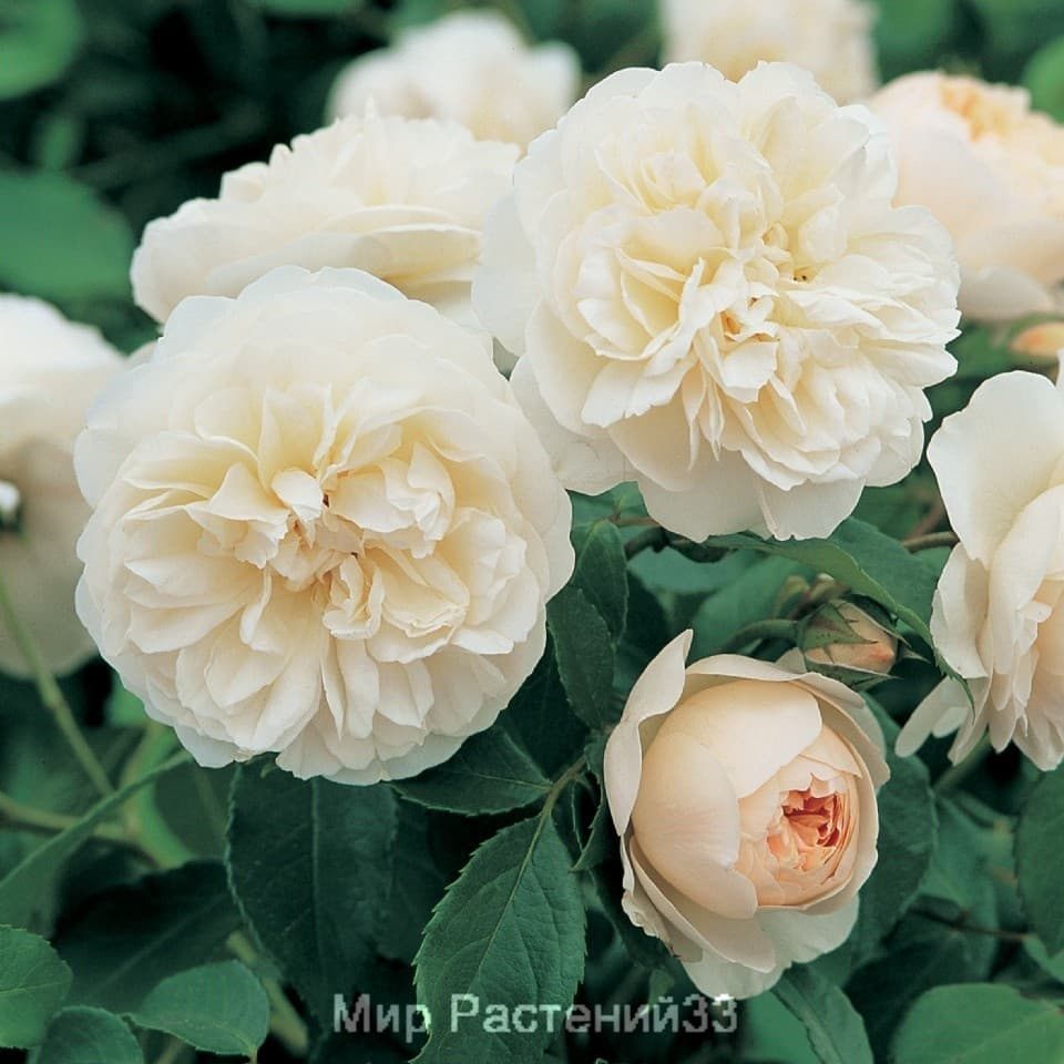 Роза кустовая Lichfield Angel. Личфилд Энджел. Дэвид Остин.