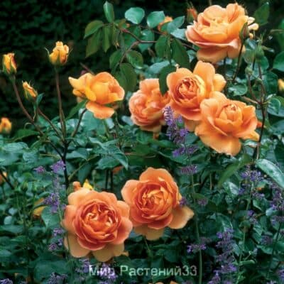 Роза кустовая Pat Austin. Пэт Остин. Дэвид Остин.