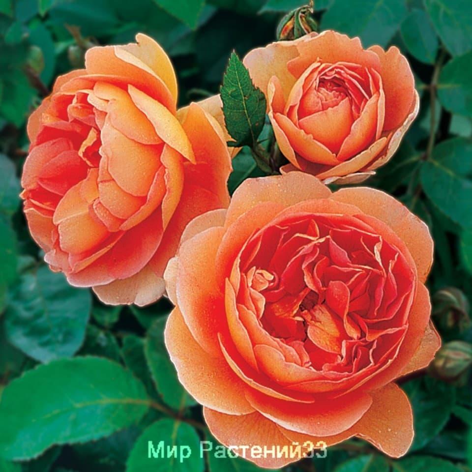 Розы сортовые купить доставка цветов в воронеже круглосуточно