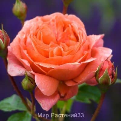 Роза кустовая Summer Song. Самэр Сонг. Дэвид Остин.