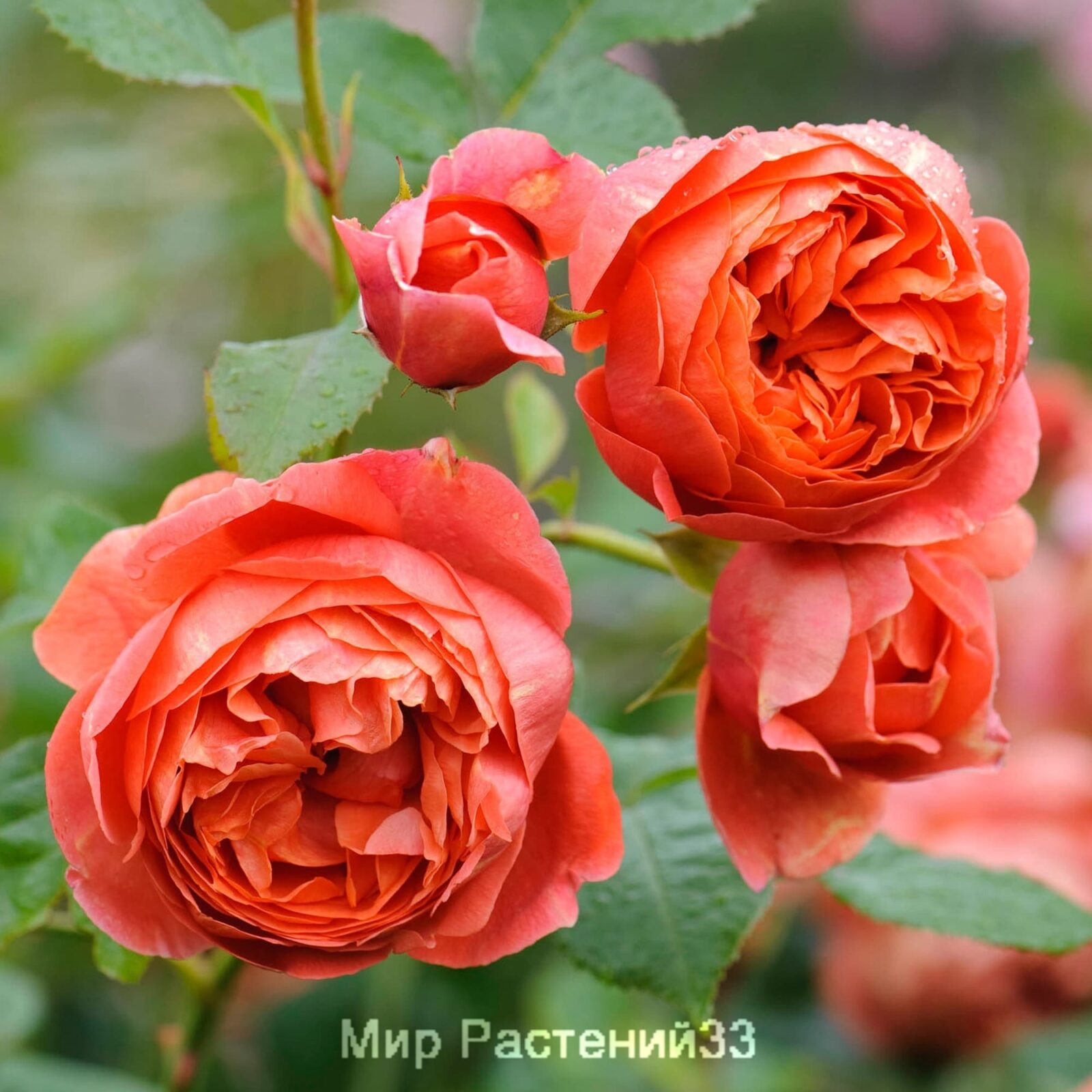 Английская роза тизинг джорджия