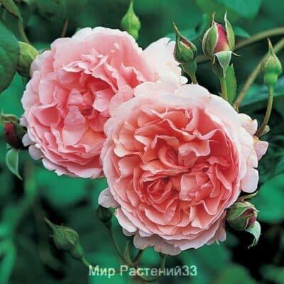 Роза кустовая Strawberry Hill. Строберри Хилл. Дэвид Остин.